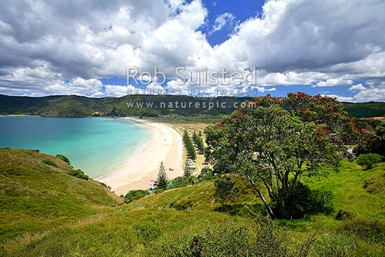Looking down onto Matauri Bay Beach, with flowering pohutukawa tree (Metrosideros excelsa) in foreground, Matauri Bay, Far North District, Northland Region, New Zealand (NZ) stock photo.
