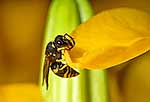 Asian Paper Wasp on leaf