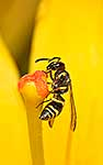 Asian Paper Wasp on flower