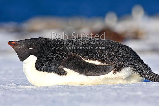 Adelie penguin adult sleeping and lying on snow (Pygoscelis adeliae), Commonwealth Bay, George V Land, Antarctica stock photo.