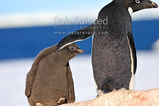 Adelie penguin adult with flipper resting on down feather covered chick in rookery (Pygoscelis adeliae), Commonwealth Bay, George V Land, Antarctica stock photo.