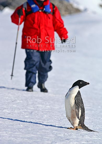 Adult Adelie penguin standing on snow near tourist visitor (Pygoscelis adeliae), Commonwealth Bay, George V Land, Antarctica stock photo.