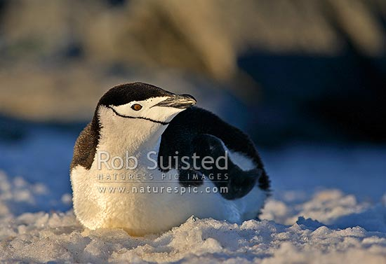 Chinstrap Penguin (Pygoscelis antarctica) lying on snow (often called, Ringed, Bearded, or Stonecracker Penguins), Antarctica stock photo.