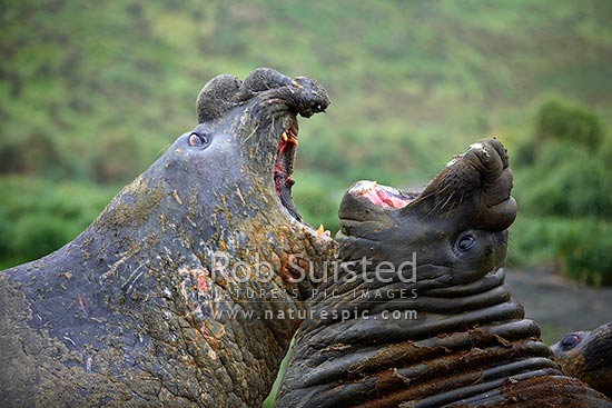 Southern Elephant Seals, males (bulls) fighting and roaring (Mirounga leonina). Phocidae, Macquarie Island, NZ Sub Antarctic District, NZ Sub Antarctic Region, Australia stock photo.