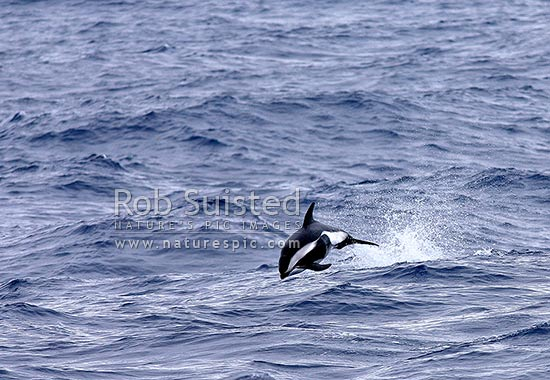 Hourglass dolphin(Lagenorhynchus cruciger)frolicking in the southern Ocean at 61 degrees South. Rarely seen, Southern Ocean, Antarctica stock photo.