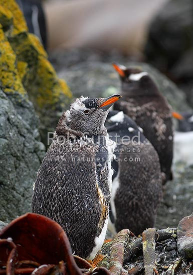 Gentoo Penguins moulting feathers and plumage (Pygoscelis papua). Spheniscidae, Macquarie Island, NZ Sub Antarctic District, NZ Sub Antarctic Region, Australia stock photo.