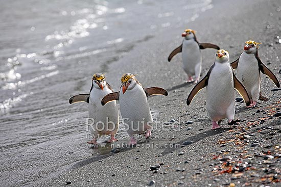Royal Penguin walking along beach (Eudyptes chrysolophus (formerly E. schlegeli) white faced Macaroni penguin), Macquarie Island, NZ Sub Antarctic District, NZ Sub Antarctic Region, Australia stock photo.