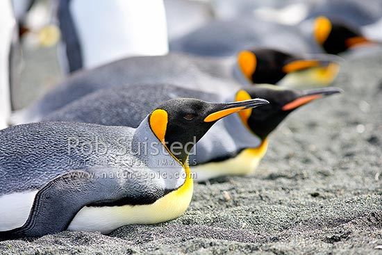 King Penguins lying down on sandy beach (Aptenodytes patagonicus), Macquarie Island, NZ Sub Antarctic District, NZ Sub Antarctic Region, Australia stock photo.