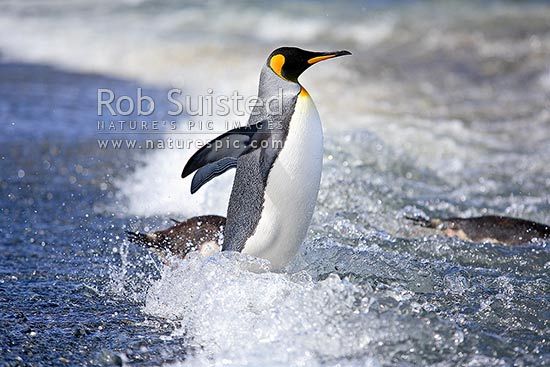 King penguins walking into water and waves from beach (Aptenodytes patagonicus), Macquarie Island, NZ Sub Antarctic District, NZ Sub Antarctic Region, Australia stock photo.
