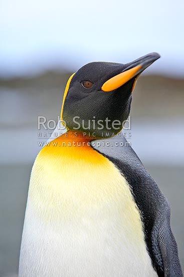 King penguin (Aptenodytes patagonicus) head and torse close up, Macquarie Island, NZ Sub Antarctic District, NZ Sub Antarctic Region, Australia stock photo.
