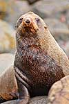 New Zealand Fur Seal close up