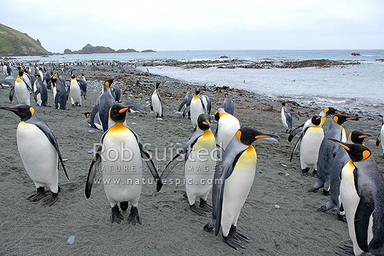 King Penguins (Aptenodytes patagonicus) on beach by the ANARE Macquarie Island station, Buckles Bay, Macquarie Island, NZ Sub Antarctic District, NZ Sub Antarctic Region, Australia stock photo.