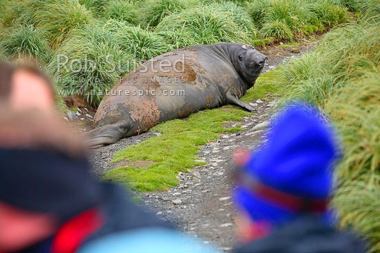 Southern Elephant Seal male on road in front of tourist visitors (Mirounga leonina). Phocidae, Macquarie Island, NZ Sub Antarctic District, NZ Sub Antarctic Region, Australia stock photo.