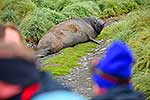 Southern Elephant Seal on road