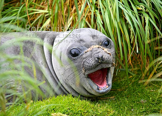 Southern Elephant Seal juvenile with open mouth (Mirounga leonina). Phocidae, Macquarie Island, NZ Sub Antarctic District, NZ Sub Antarctic Region, Australia stock photo.