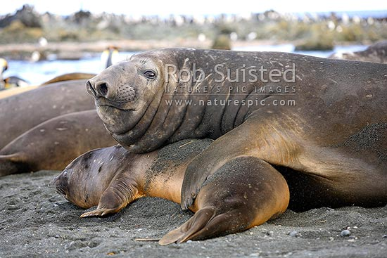 Young male Southern Elephant Seal dominating a juvenile to mate with (Mirounga leonina). Phocidae, Macquarie Island, NZ Sub Antarctic District, NZ Sub Antarctic Region, Australia stock photo.