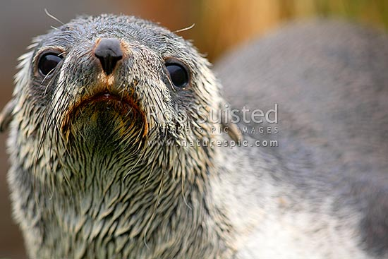 Young Subantarctic fur seal in rain (Arctocephalus tropicalis). Close up of face, Macquarie Island, NZ Sub Antarctic District, NZ Sub Antarctic Region, Australia stock photo.