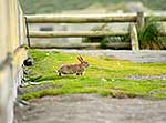 Wild rabbit on Macquarie Island