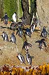 Snares crested penguins on rocks