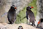 Snares crested penguins on rock