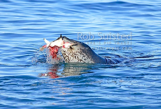 Leopard seal (Hydrurga leptonyx) killing and eating an Adelie Penguin (Pygoscelis adeliae). Killing series available, Ross Sea, Antarctica stock photo.