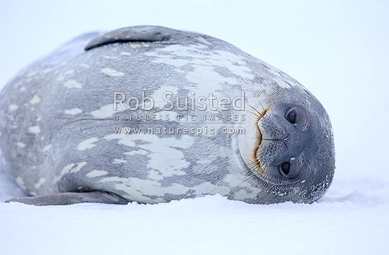 Weddell seal on ice (Leptonychotes weddellii); mature female. Appears to be smiling, Inexpressible Island Ross Sea, Antarctica stock photo.