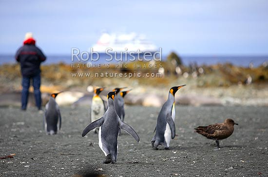 Visitors ashore at Sandy Bay viewing King penguins (Aptenodytes patagonicus). Expedition ship MV Orion behind, Macquarie Island, NZ Sub Antarctic District, NZ Sub Antarctic Region, Australia stock photo.