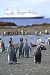 King Penguins, ship in distance