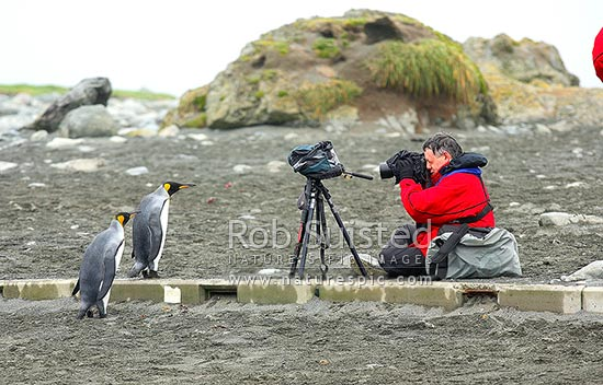 Tourist photographing and videoing King penguins (Aptenodytes patagonicus). Who is watching whom?, Macquarie Island, NZ Sub Antarctic District, NZ Sub Antarctic Region, Australia stock photo.