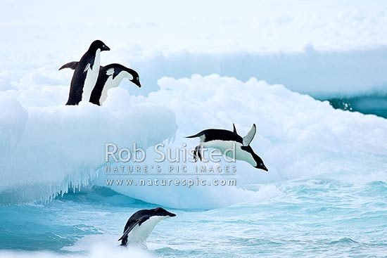 Adelie penguins jumping from fast ice into the sea (Pygoscelis adeliae). Group of penguins, 'flying penguin', Ross Island, Antarctica stock photo.