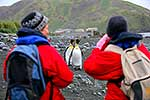 Tourist approaching King Penguins
