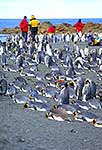 Tourists at King penguin colony