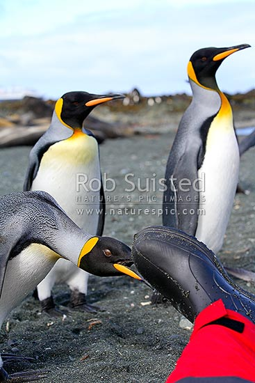 Curious King penguins investigating photographers footwear at Sandy Bay Beach (Aptenodytes patagonicus), Macquarie Island, NZ Sub Antarctic District, NZ Sub Antarctic Region, Australia stock photo.