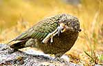 Young Kea scratching its face