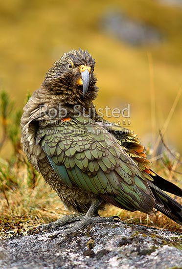 Young Kea bird (Nestor notabilis). Alpine parrot. Yellow face markings indicate young age, Fiordland National Park, Southland District, Southland Region, New Zealand (NZ) stock photo.