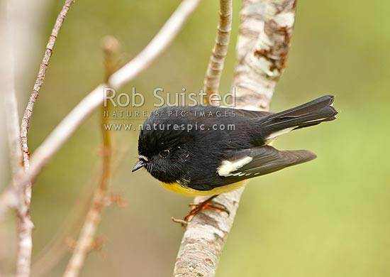 South Island male tomtit bird (Petroica m. macrocephala), Fiordland National Park, Southland District, Southland Region, New Zealand (NZ) stock photo.