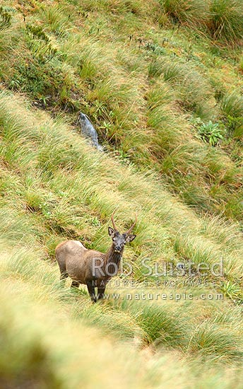 Wild Wapiti bull spiker (Fiordland deer - Cervus elaphus) on tussock tops above the Glaisnock River, Fiordland National Park, Southland District, Southland Region, New Zealand (NZ) stock photo.