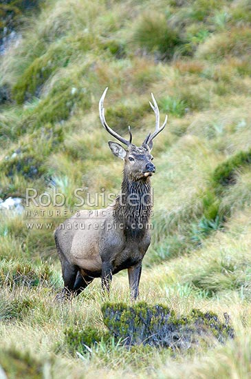 Wild young Wapiti bull (Fiordland (red) deer - Cervus elaphus) on tussock tops above the Glaisnock River during the rutting season, Fiordland National Park, Southland District, Southland Region, New Zealand (NZ) stock photo.