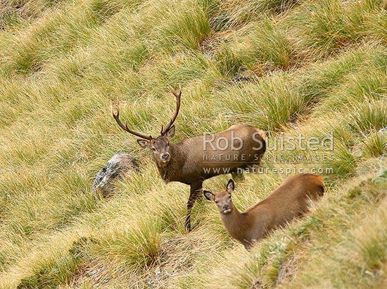 Wild Wapiti Bull Red Deer Stag Hybrid Cross And Cow Fiordland Cervus Elaphus On Tussock