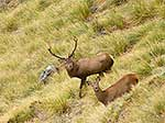 Stag and hind in rutting season