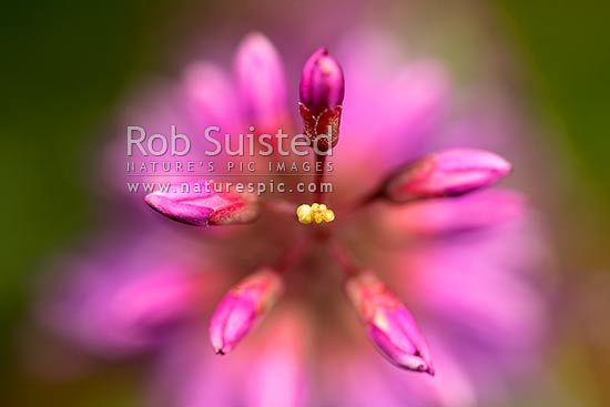 Hebe flowers about to open (Hebe speciosa variety), purple, native. Close up macro shot, New Zealand (NZ) stock photo.