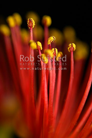 Close up of akakura / Scarlet Rata vine flowers with red stamens and yellow pollen covered anthers (Metrosideros fulgens, Myrtaceae), New Zealand (NZ) stock photo.