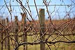Barren grape vines