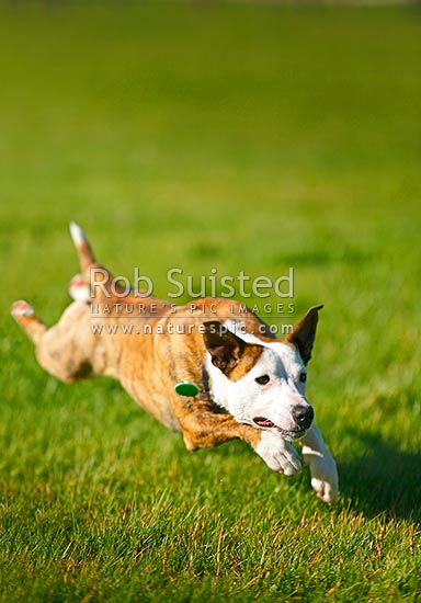 A dog with regristration collar running at full speed and stretch across a sunny grassy field during exercise, New Zealand (NZ) stock photo.