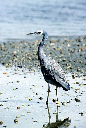 White faced heron (Ardea novaehollandiae), Pauatahanui Inlet, New Zealand (NZ) stock photo.