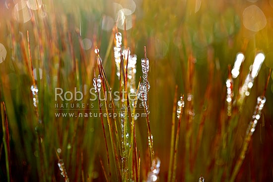 Alpine Needle-leaf grass tree (Dracophyllum filifolium Ericaceae) leaves encrusted with heavy frost ice on a frosty winter morning, New Zealand (NZ) stock photo.