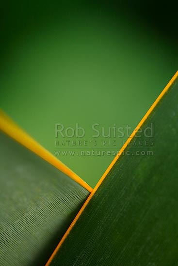 Yellow ribbed New Zealand Flax leaf and leaves crossed (Phormium tenax). Design, arty type shot, New Zealand (NZ) stock photo.