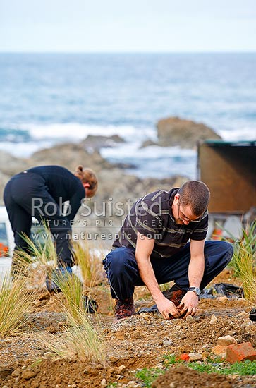 Conservation volunteers restoration planting native plants to restore an old quarry site, Wellington, Wellington City District, Wellington Region, New Zealand (NZ) stock photo.