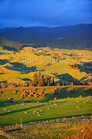 Evening light over farmland and grazing sheep on pasture below the Ruahine Foothills, Apiti, Manawatu District, Manawatu-Wanganui Region, New Zealand (NZ) stock photo.