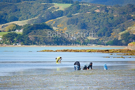 People gathering shellfish (kaimoana) at lowtide. Collecting cockles (Austrovenus stutchburyi), Pauatahanui Inlet, Porirua City District, Wellington Region, New Zealand (NZ) stock photo.